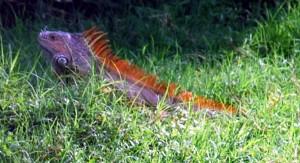 iguana-co2