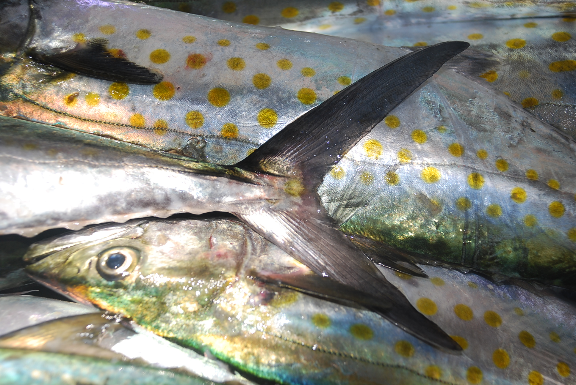 Killer fish 90 images frompo for Sierra fish in english