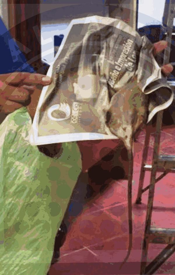 Ratas en Palacio